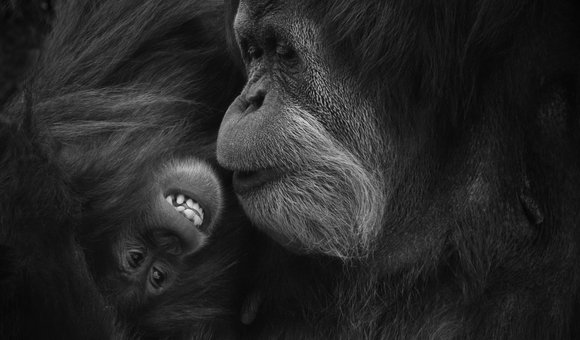 That must be a very funny joke shared by the doting mother. The baby sure wanted to hear more, as for baby orangutans mom is the best friend for first 5-10 years. Orangutans are known for the strong bonding shared by the cuddly mom and clingy baby.