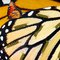 Monarch Butterfly and caterpillars on Monarch wing background.