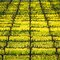 Mustard plants in full bloom between the vines at Wilson Winery in Sonoma, Ca.