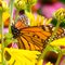 Monarch Butterfly Resting Among Yellow Coneflowers
