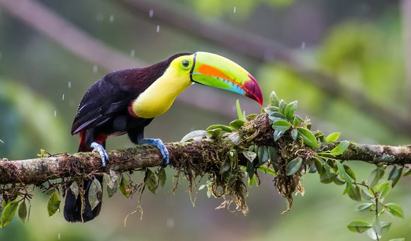 Wild Keel-billed Toucan captured during a rainstorm in Costa Rica in April 2016.